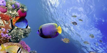 Undervattenslivet i Röda havet.