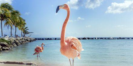 På kända Flamingo Beach i Aruba bor sex rosa flamingos.