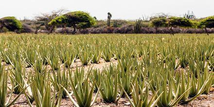 Aruba är känd för sin Aloe Vera som framställs på en familjeägd fabrik.