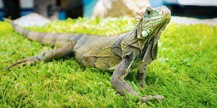 Den gröna leguanen, eller Iguana iguana som den heter lokalt, lever på Aruba och kan bli upp till två meter långa.