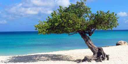 Dividivi-träden är ett signum för Aruba. Tack vare den västliga vinden är alla växter böjda i tjugo graders vinkel.