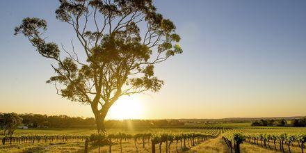 Barossa Valley, Australiens mest kända vindistrikt.