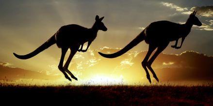 Upplev kängurur som bara finns i Australien.