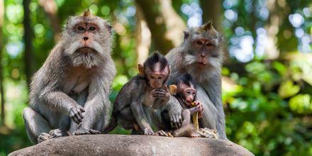 Apor i Ubud Monkey Forest på Bali.