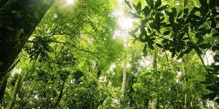 Amazonas regnskog.