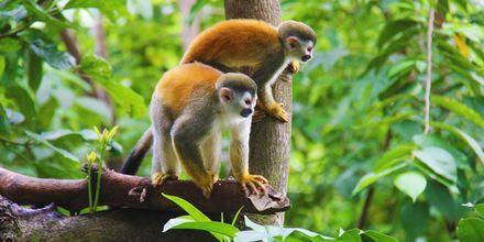 Apor i Amazonas.