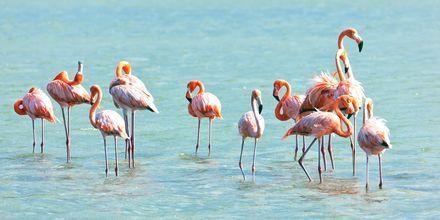 Curaçao är ett skyddat habitat för flamingos.