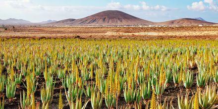 Aleo Vera-odlingar i vackert landskap på Fuerteventura.