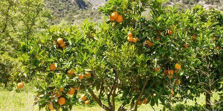 Apelsinträd i Gerani.