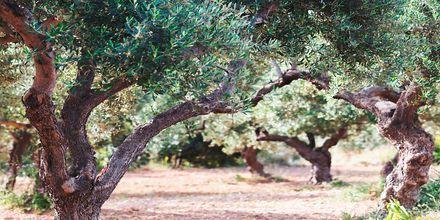 Vackra olivlundar.