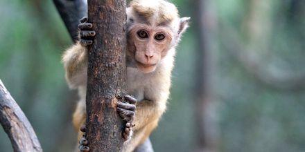 Nationalparken Minneriya vid Habarana, Sri Lanka.
