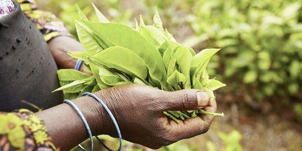 Teplantage på Sri Lanka.
