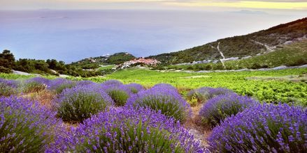 Hvar är känd som lavendelön.