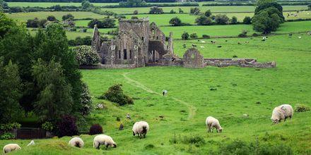 En vanlig syn på Irland: massor av får och gamla fästningar.