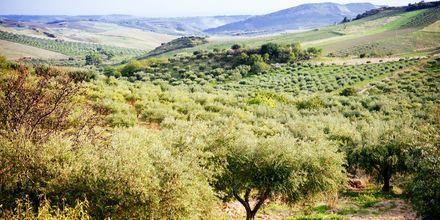 Olivodlingar på Sicilien.