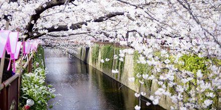 Körsbärsblomningen - Sakura - är en populär tid på året att resa till Japan.
