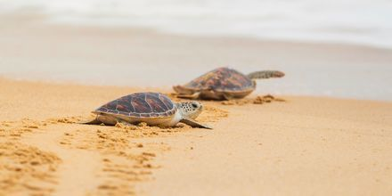 Havssköldpaddorna Caretta Caretta lägger sina ägg i sanden.