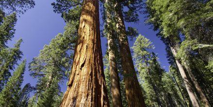 Mäktiga sequoia-träd i Redwood National Parks.
