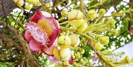 Blomstrande cannonball-träd på ön Sal, Kap Verde