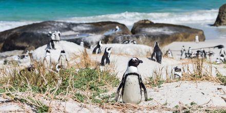 Afrikanska pingviner på stranden Boulder's Beach i Kapstaden.