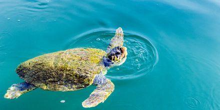 I Argostolis hamn äter havssköldpaddorna sin frukost.