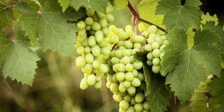 På Korcula tillverkas Kroatiens finaste vita viner.