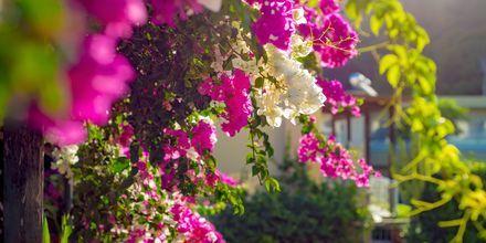 Blomstrande bougainvillea är en vanlig syn på Kreta.