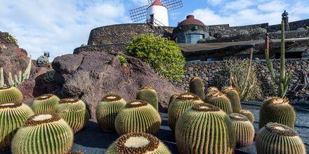 Kaktusträdgård på Lanzarote, Kanarieöarna.