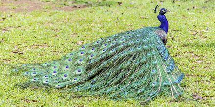 Påfågel i Casela Park, Mauritius.