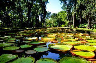 Den botaniska trädgården Pamplemousses på Mauritius.