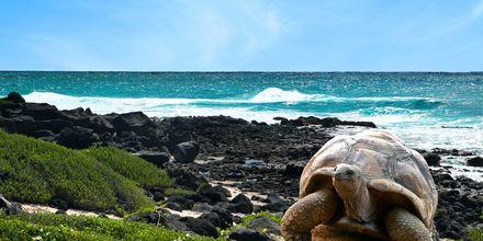 Jättesköldpadda på Mauritius.