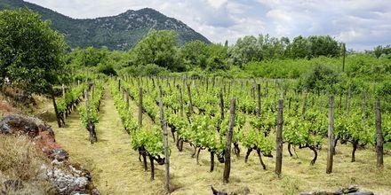 Vinodling i Montenegro.
