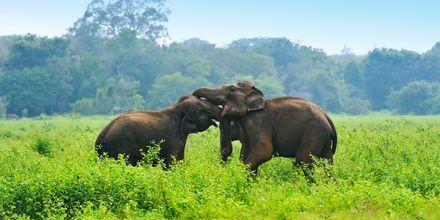 Elefanter i naturreservat på Sri Lanka.