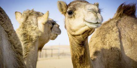 Dromedarer i Oman.
