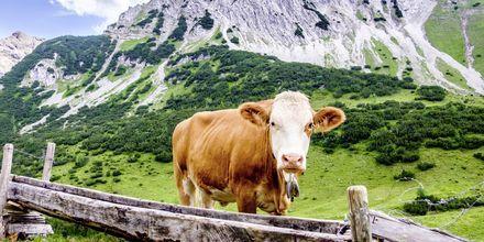Under en vandring i Österrike lär du stöta på många kossor.