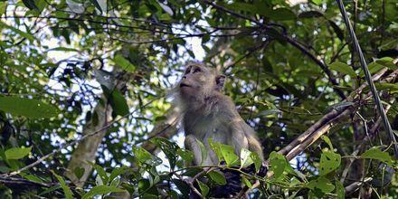 Vandra i djungeln och spana på apor!