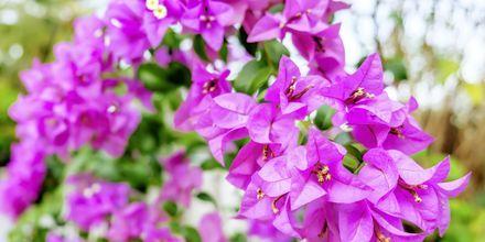 I Puerto de Mogán blommar den vackra bougainvillean.