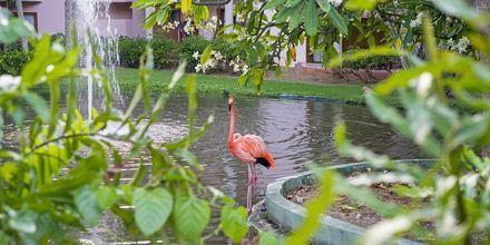 Flamingo på Punta Cana, Dominikanska republiken.