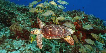 Snorkling med sköldpaddor är möjligt på många platser längs kusten.