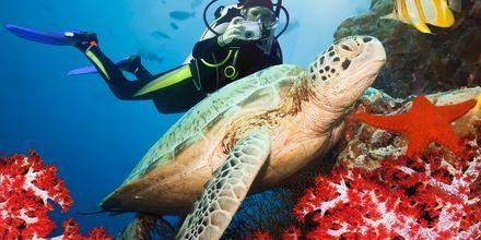 Har du tur simmar en sköldpadda förbi under dykningen.