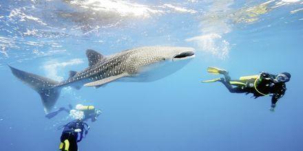 Dykning med valhaj i Oman.