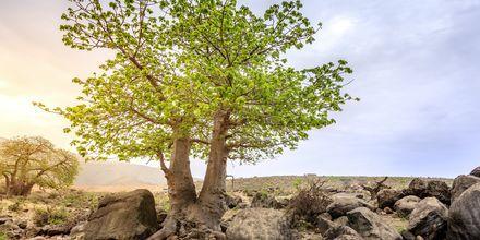 Baobabträd i Salalah, Oman.