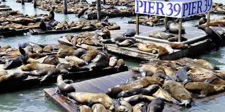 Sjölejonen på Pier 39.