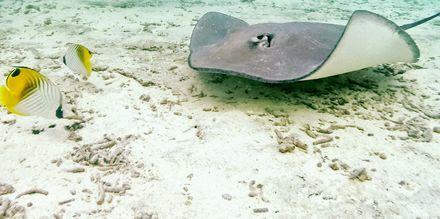 På snorkelutflykt kan man upptäcka Kap Verdes undervattensliv.
