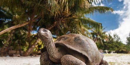 På ön La Curieuse utanför Praslin bor 500 jättesköldpaddor.
