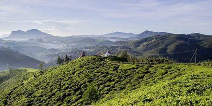 Teplantage vid Nuwara Eliya på Sri Lanka.
