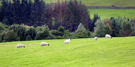 Får på landsbygden i Skottland, Storbritannien.