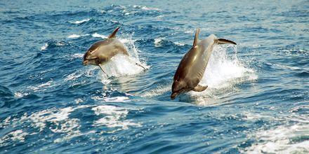 Atlanten är hem åt bland annat delfiner!