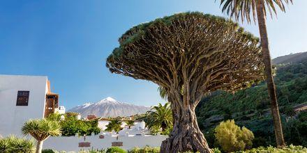 Trädet El Drago Milenario på Teneriffa.