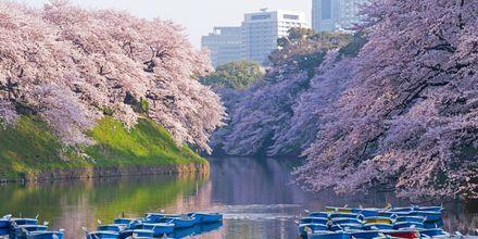 Körsbärsblomningen, Sakura, är en fantastiskt vacker tid på året i Tokyo.